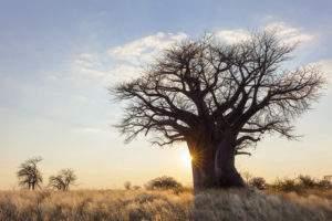 natural baobab tree